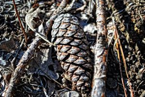 Lost Pine Cone by tracykenefick