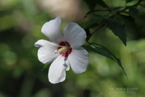 Hibiscus syriacus by TheMarchStudios