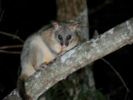 possum half hour later by kalascee
