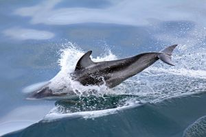 Porpoise 1 by broadwaylover1