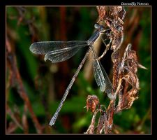 Veteran Damselfly by boron
