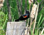 Male Red-winged  Blackbird (2) by camara13