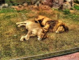 Tired Lion by pingallery