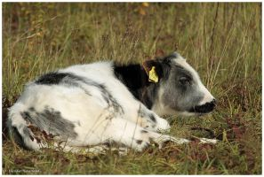 little cow by Claudia008