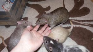 Rats by OP-Girl16