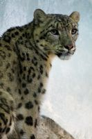 4478 - Snow leopard by Jay-Co