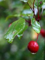 red berry by AlexLego