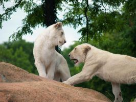 African White Lions. by purevintage