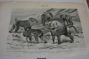 Lithograph FOR SALE or TRADE:Monkeys 1-baboons by Lot1rthylacine