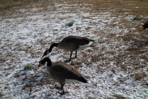 Geese9 by stockicide
