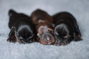 Puppies by fotomartinez