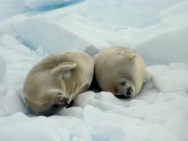 Two Seals by gabmaia