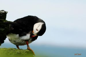Puffin on the rocks 2 by Yoonett