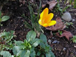 First Crocus of 2015 by Bwabbit