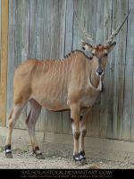 Giant Eland 11 by SalsolaStock
