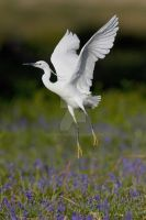 Little Egret 3 by naturelens