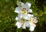 White lilies by iPod23