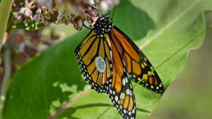 Tagged Monarch by MichelLalonde