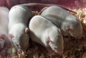 11 day old baby rats. by lwernham