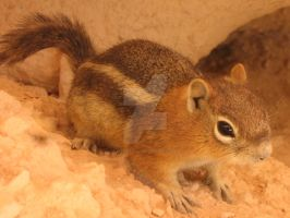 Chipmunk in Utah by MarbleTilly