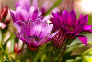 pink and purple by Zlata-Petal