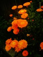 marigolds by IamNasher