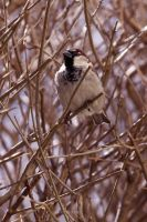 Little Sparrow... by EVAVESTER