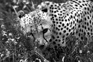 Hiding Cheetah by JimmyJam75