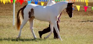 pinto pony arched neck by Chunga-Stock