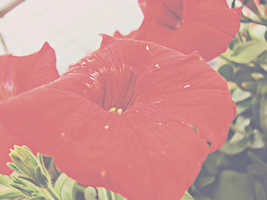 Red Flower 2 by SmootHope