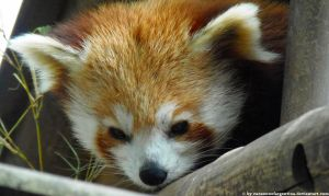 Red panda XI by Cansounofargentina