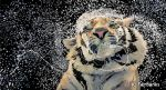 Tiger Splash (digital drawing) by eyeqandy