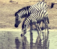Zebras. by 0lyy