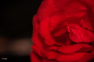 rose 1 by kpadda