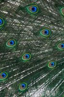Peacock feathers by MrsRiordan