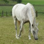 grey andalusian horse on grazing land by Nexu4