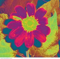 Mexican sunflower photoshop by redhead777T