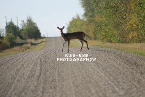 Deer Crossing by cangirl78