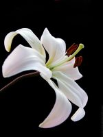 white lily. by Proseuche
