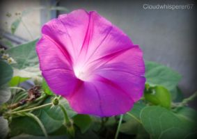 Pink Ipomeia - Pink Morning glory Flower by Cloudwhisperer67
