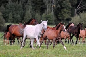 Herd of horses by amisiux