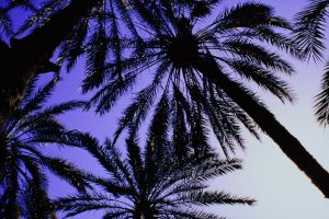 07027.Palm trees. by StevenTremaine