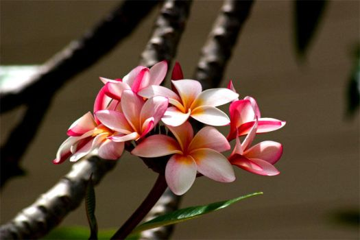 Pink Plumeria by Photographylady