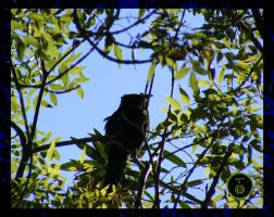 +Spangled Drongo+ by Ranger-Roger-Reserve