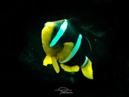 Amphiprion clarkii by siinlaw