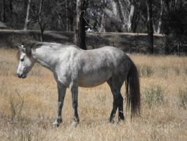 Dapple grey Stock 2 by HotHorse