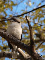 The Laughing Kookaburra by HempHat