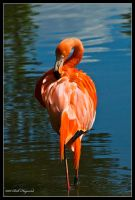 Solo Flamingo by mym8rick
