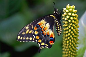 Exotic Butterfly I by manu1993