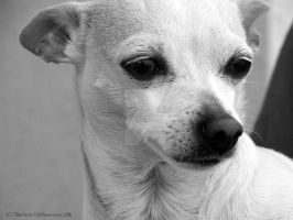 Chihuahua by PerfectDifferences